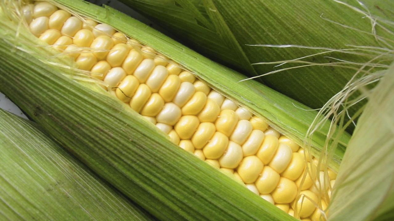 Бизнес-идея выращивания кукурузы