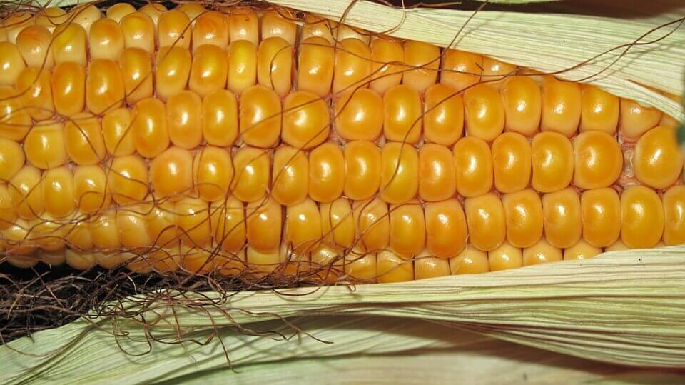Как начать бизнес на продаже вареной кукурузы