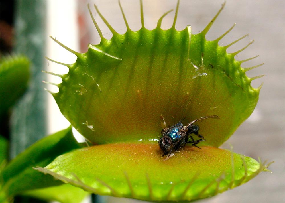 Бизнес-идея выращивания  хищных растений