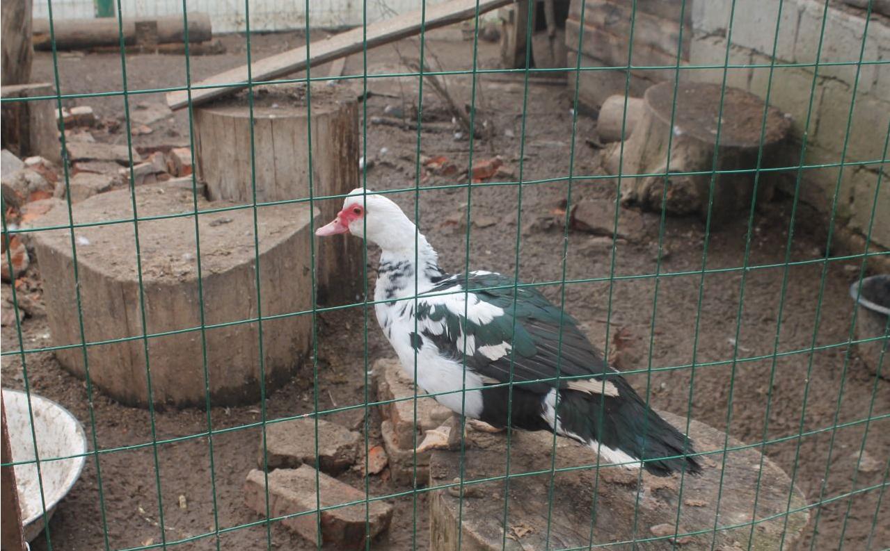 мускусные утки разведение в домашних условиях видео