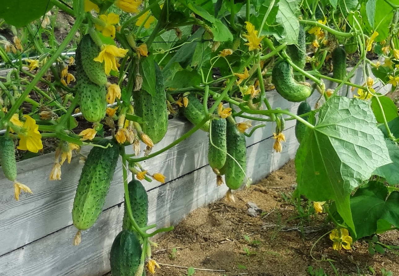 Бизнес-идея выращивания огурцов