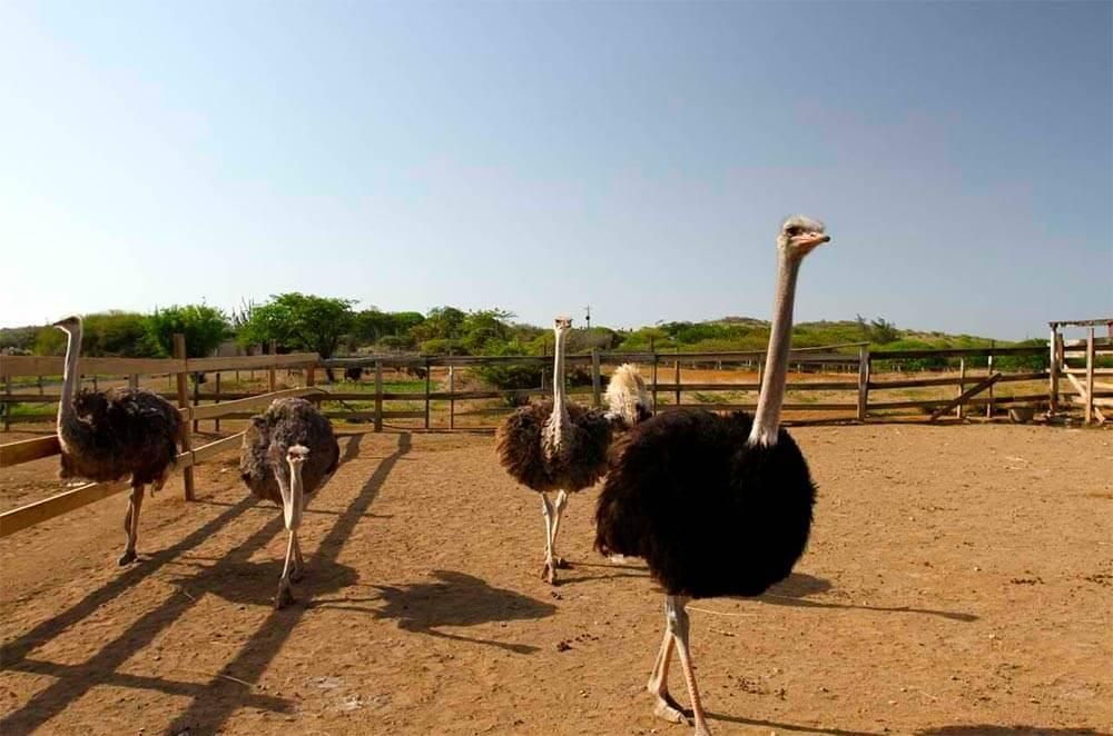 Бизнес-идея фермы по разведению страусов