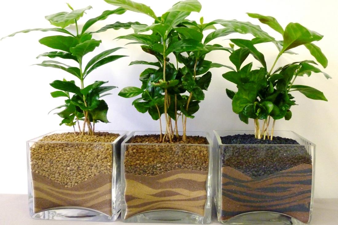 Бизнес-идея выращивания кофейных деревьев