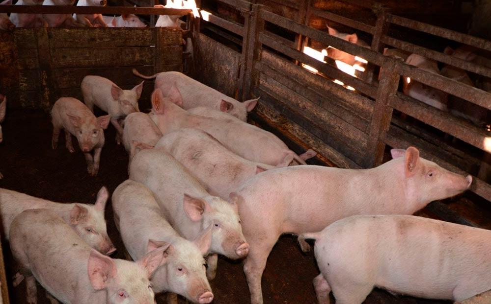 Бизнес-идея открытия мини-свинофермы