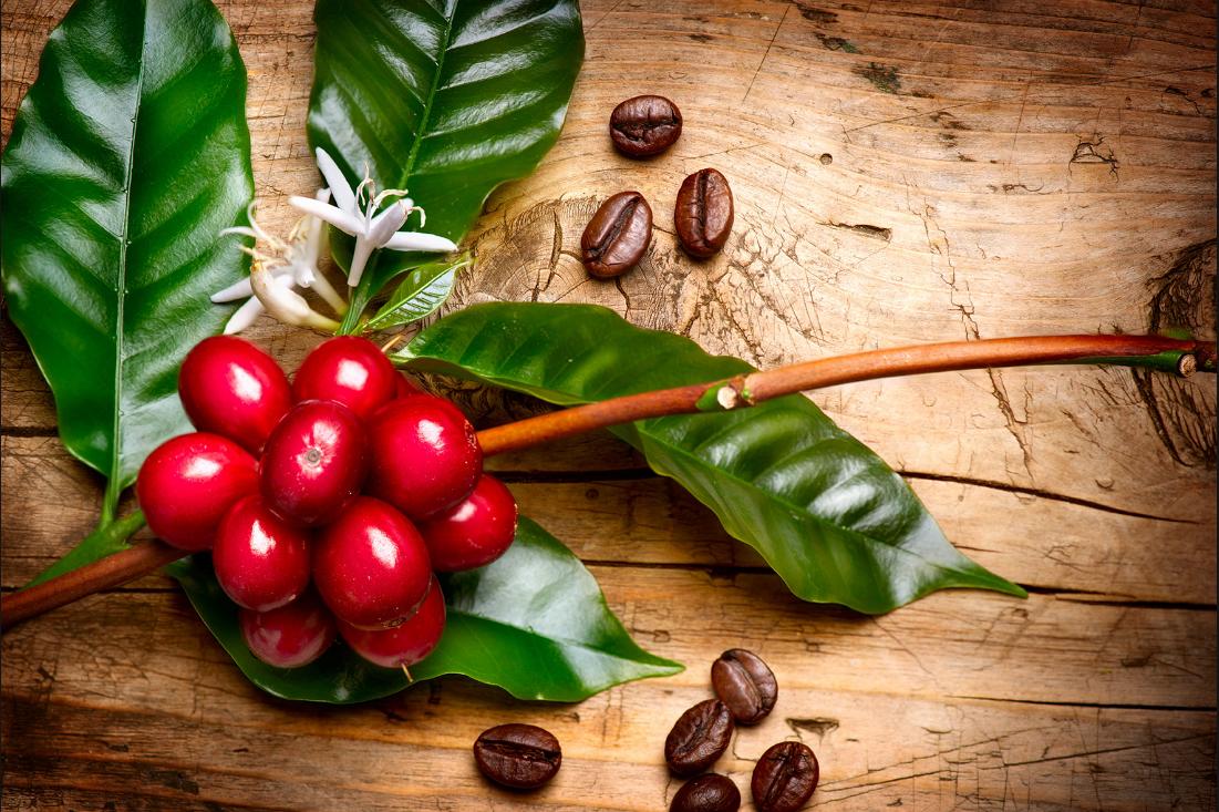 Как организовать бизнес на выращивании кофейных деревьев