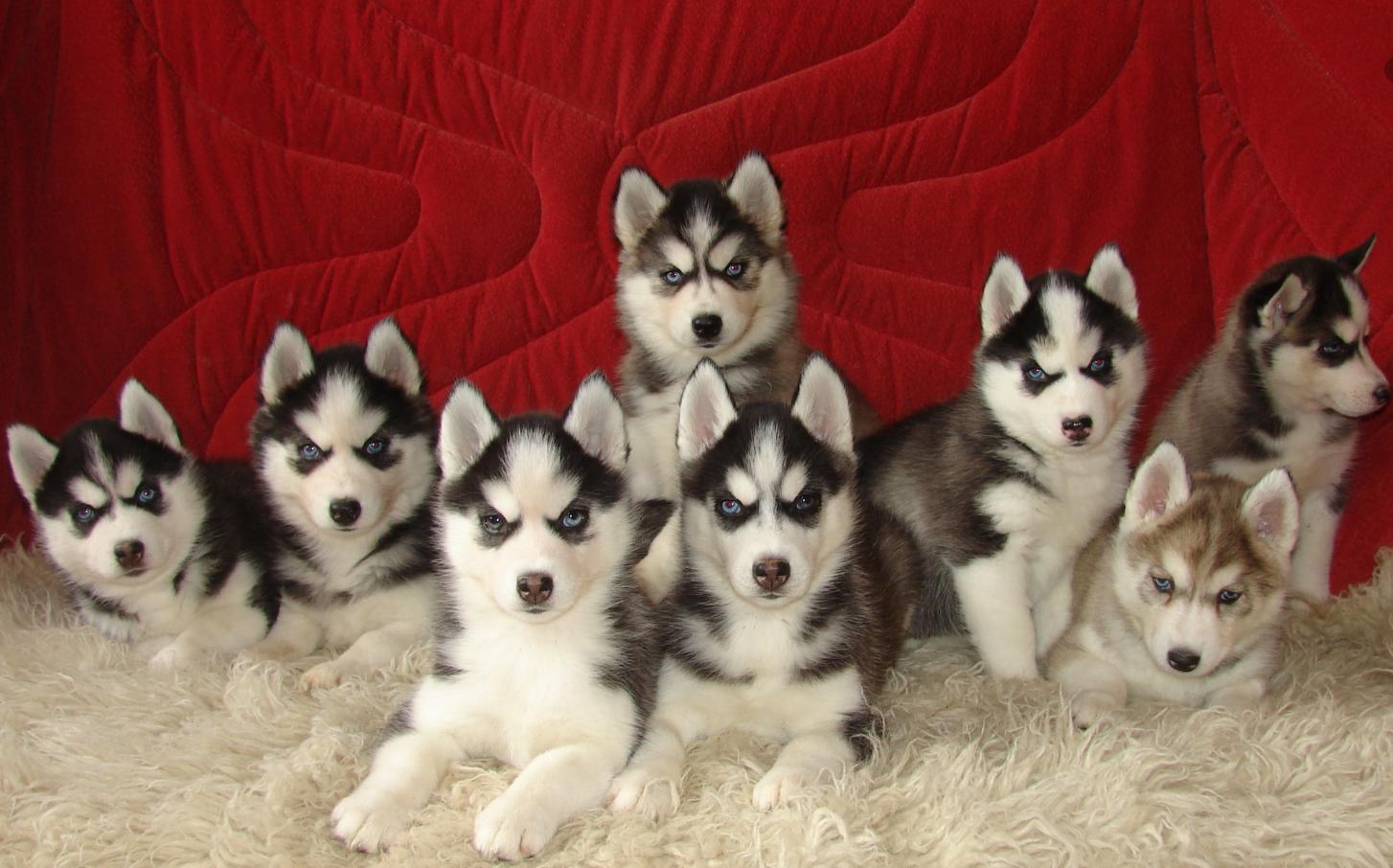 Бизнес-идея заработка на щенках