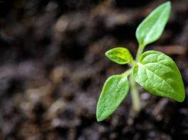 Выращивание сои