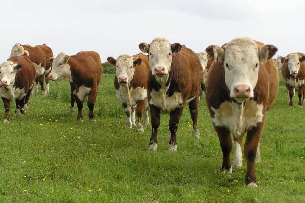6 преимуществ и 5 недостатков разведения бычков на мясо