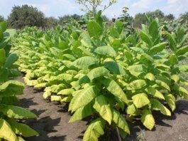 Выращивание табака на продажу