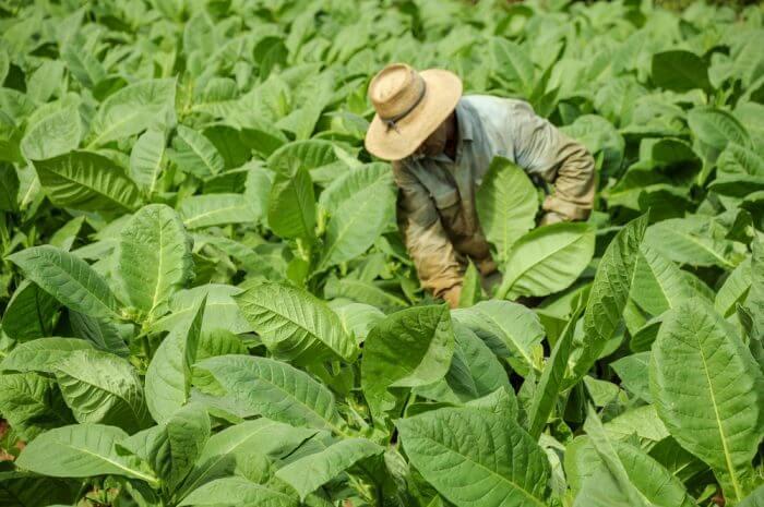 Выращивание табака на продажу: 4 преимущества и 2 недостатка бизнеса